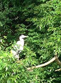 Heron on Bude Canal